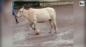 A COW PLAYING FOOTBALL? This happens only in India!